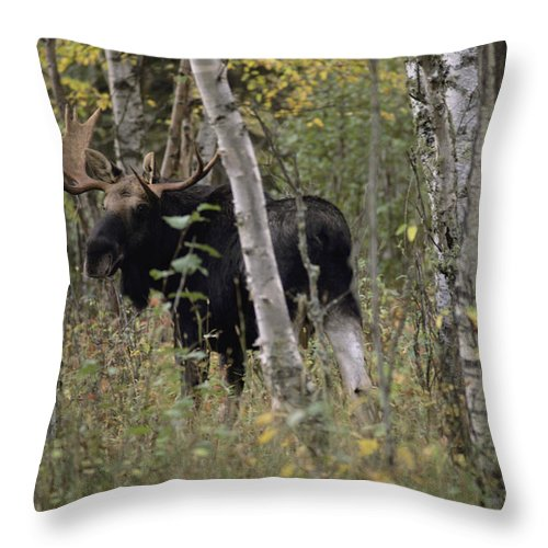 North America Throw Pillow featuring the photograph A Moose Alces Alces Americana With An by Annie Griffiths