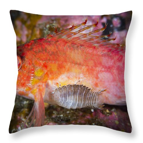 Animal Throw Pillow featuring the photograph A Parasitic Isopod Has Attached Itself by Todd Winner