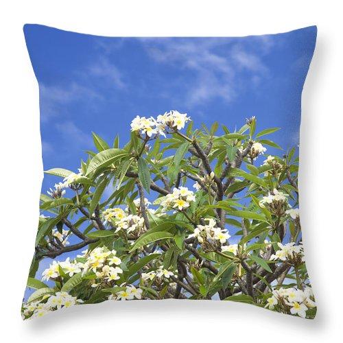 Kailua Throw Pillow featuring the photograph A Plumeria Caracasana Tree In Full by Taylor S. Kennedy