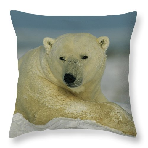 North America Throw Pillow featuring the photograph A Polar Bear, Ursus Maritimus, Lounges by Norbert Rosing