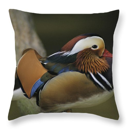 Asia Throw Pillow featuring the photograph A Portrait Of A Mandarin Duck by Tim Laman