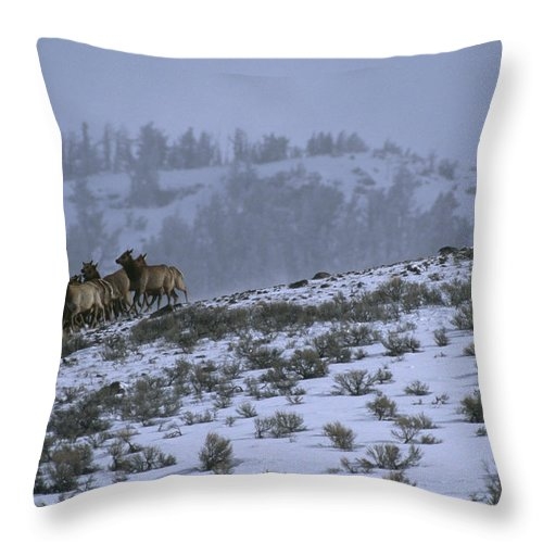 Outdoors Throw Pillow featuring the photograph A Reintroduced Wolf Chases A Herd by Joel Sartore