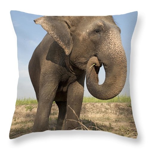 Activity Throw Pillow featuring the photograph A Rescued Asian Elephant Eats Sugar by Lori Epstein