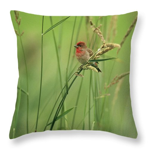 Plants Throw Pillow featuring the photograph A Scarlet Grosbeak Perched On Grass by Klaus Nigge
