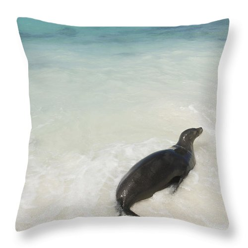 Back To Camera Throw Pillow featuring the photograph A Sea Lion Otariidae In The Shallow by Keith Levit