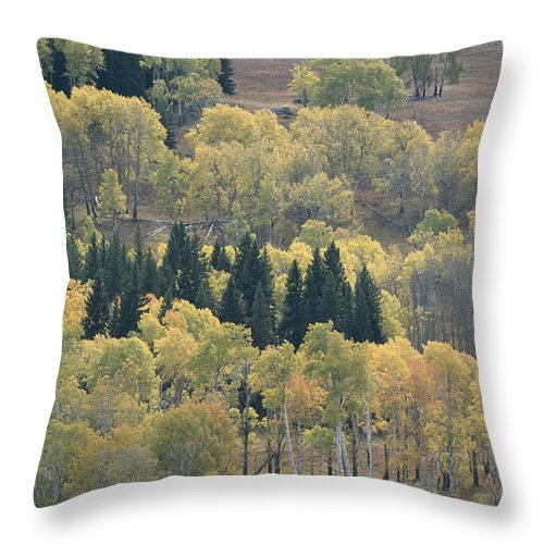 Plants Throw Pillow featuring the photograph A Stand Of Aspen And Evergreen Trees by Tom Murphy