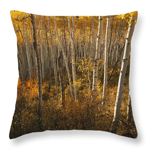 Scenes And Views Throw Pillow featuring the photograph A Stand Of Aspen Trees Displaying by Melissa Farlow