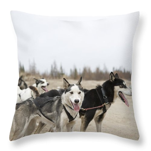 Churchill Throw Pillow featuring the photograph A Team Of Dogs Pull A Cart by Taylor S. Kennedy