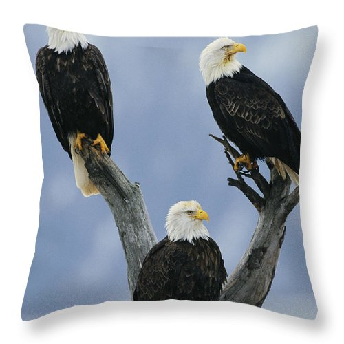 Animals Throw Pillow featuring the photograph A Trio Of American Bald Eagles Perched by Klaus Nigge