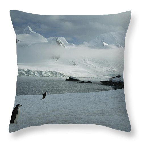 Antarctica Throw Pillow featuring the photograph A Trio Of Chin Strap Penguins Amble by Tom Murphy
