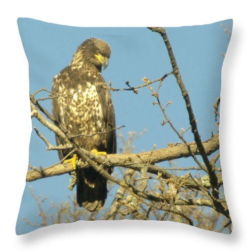 Eagles Throw Pillow featuring the photograph A Young Eagle Gazing Down by Jeff Swan