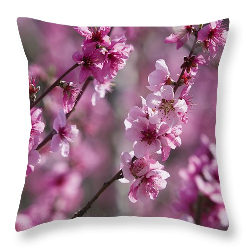 Mp Throw Pillow featuring the photograph Almond Prunus Dulcis Trees Blooming by Konrad Wothe