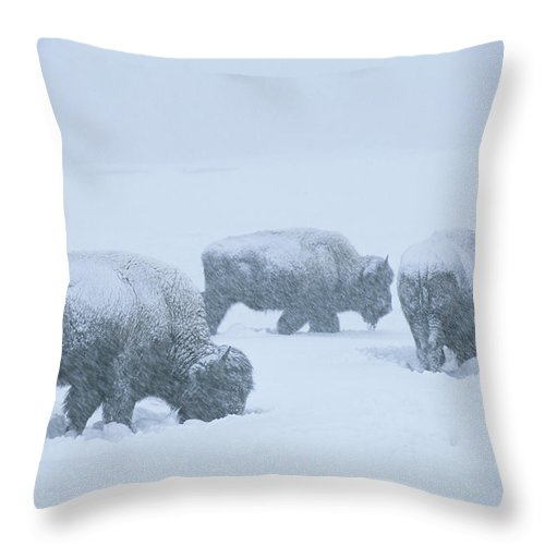 North America Throw Pillow featuring the photograph American Bison Graze During A Snowstorm by Tom Murphy
