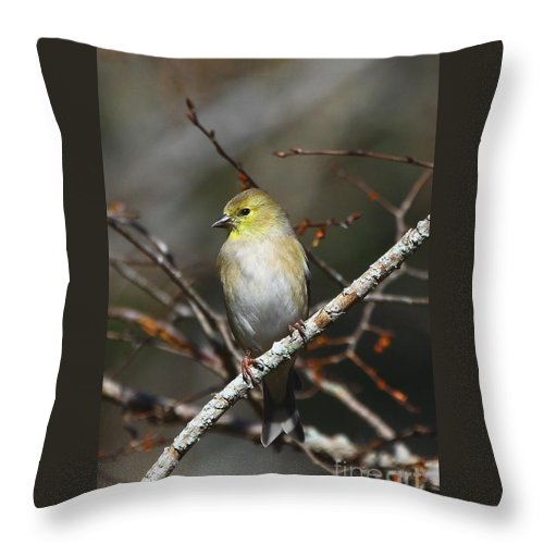 American Gold Finch Throw Pillow featuring the photograph American Gold Finch by Barbara Bowen