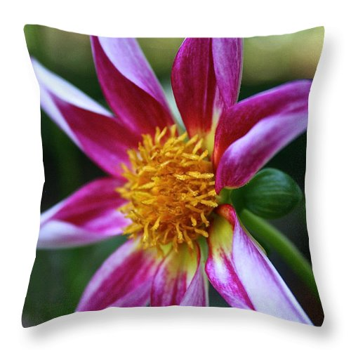 Outdoors Throw Pillow featuring the photograph Amy's Star Dahlia by Susan Herber