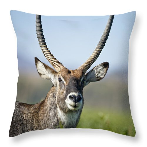 African Wildlife Throw Pillow featuring the photograph An Antelope Standing Amongst Tall by David DuChemin