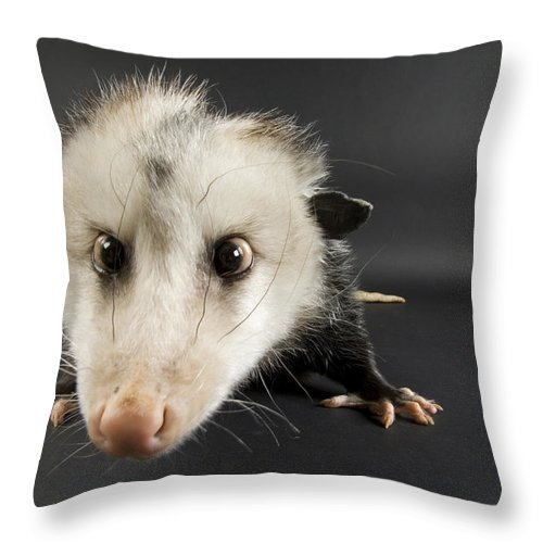 Photography Throw Pillow featuring the photograph An Opposum Didelphis Virginiana by Joel Sartore