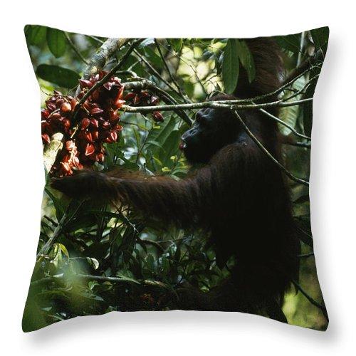 Color Image Throw Pillow featuring the photograph An Orangutan Gorges Himself by Tim Laman