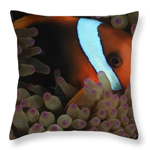 Sea Life Throw Pillow featuring the photograph Anemonefish In Purple Tip Anemone by Todd Winner