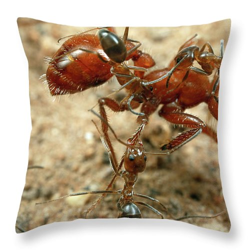 Mp Throw Pillow featuring the photograph Ant Dorymyrmex Sp Workers Climbing by Mark Moffett