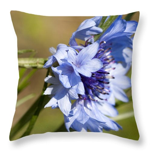Centaurea Cyanus Throw Pillow featuring the photograph Bachelor Button Blowin In The Wind by Kathy Clark