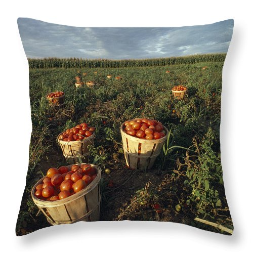 Lancaster Throw Pillow featuring the photograph Baskets Of Fresh Tomatoes In A Field by Michael Melford