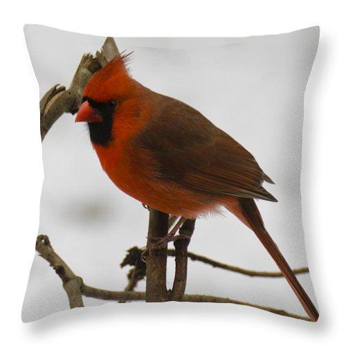 Usa Throw Pillow featuring the photograph Beautiful Cardinal by LeeAnn McLaneGoetz McLaneGoetzStudioLLCcom