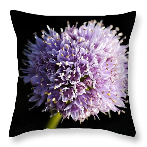 Flower Throw Pillow featuring the photograph Beautiful Purple Flower With Black Background by Matthias Hauser