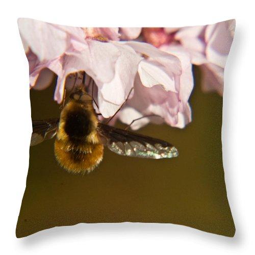 Bombyliidae Throw Pillow featuring the photograph Bee Fly Feeding 5 by Douglas Barnett