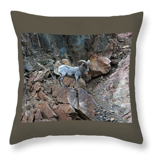 Colorado Throw Pillow featuring the photograph Big Horn Sheep by Kimberlee Fiedler
