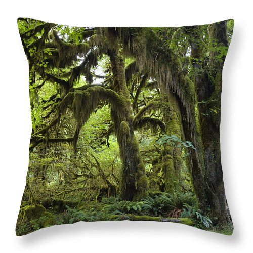 Mp Throw Pillow featuring the photograph Bigleaf Maple Acer Macrophyllum by Konrad Wothe