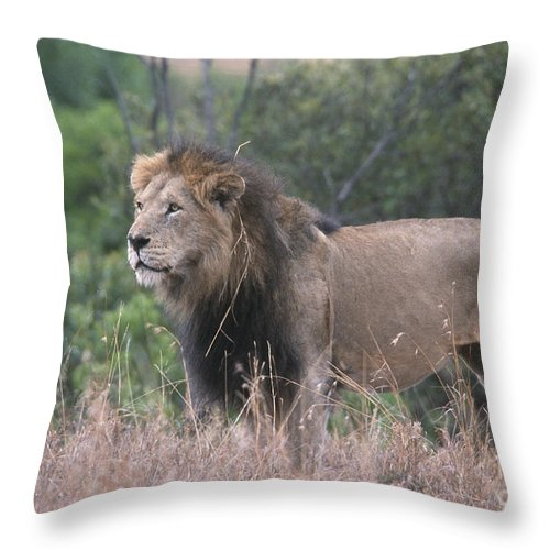 Lion Throw Pillow featuring the photograph Black Maned Lion by Sandra Bronstein