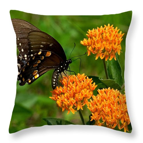 Insect Throw Pillow featuring the photograph Black Swallowtail Visiting Butterfly Weed Din012 by Gerry Gantt