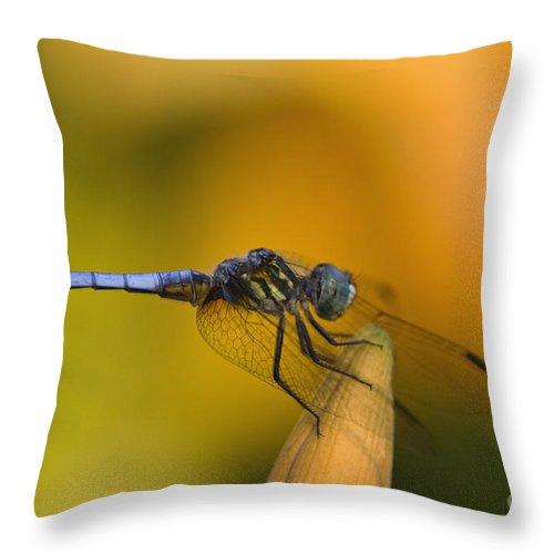 Blue Throw Pillow featuring the photograph Blue Dasher - D007665 by Daniel Dempster