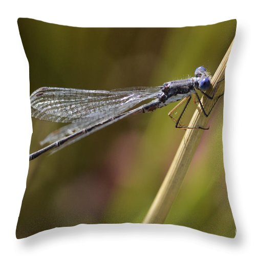 Blue Dasher Throw Pillow featuring the photograph Blue Dasher by Bob Christopher