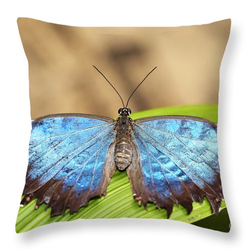 Butterfly Throw Pillow featuring the photograph Blue Morpho Butterfly by Michal Boubin