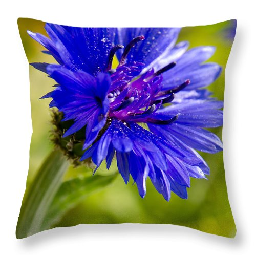 Agriculture Throw Pillow featuring the photograph Blue Single Cornflower by Michael Goyberg