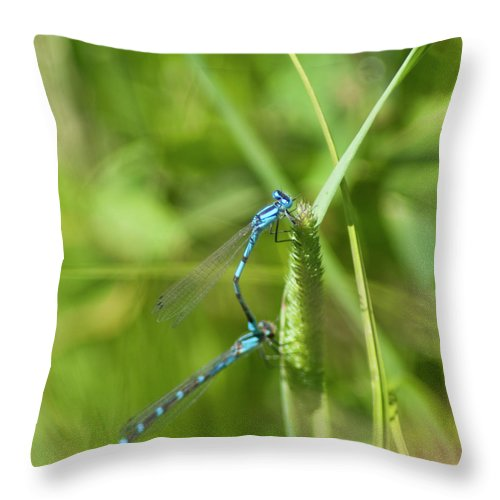 Damselflies (suborder Zygoptera) Throw Pillow featuring the photograph Blue Tailed Damsel Flies by Daniel Hebard