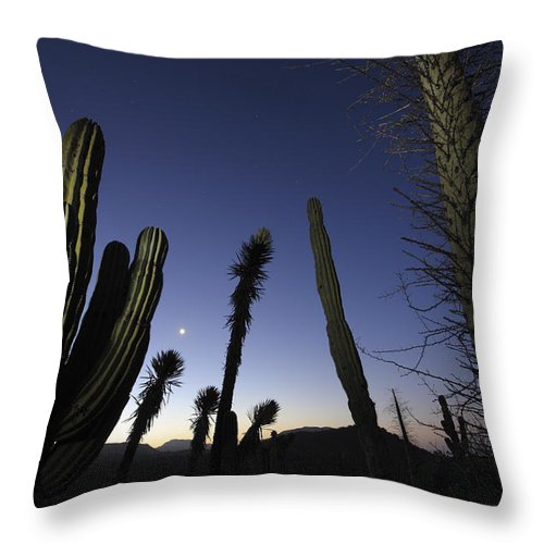 Mp Throw Pillow featuring the photograph Boojum Tree Idria Columnaris And Cardon by Cyril Ruoso