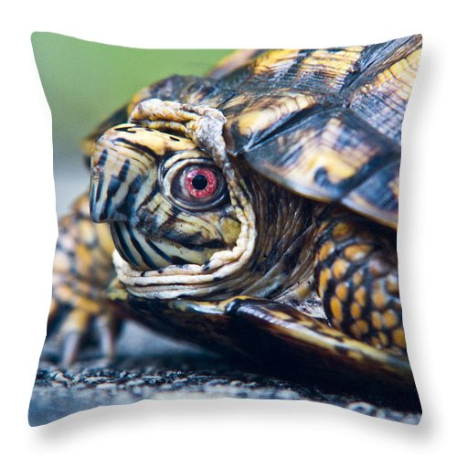 Box Throw Pillow featuring the photograph Box Turtle 1 by Douglas Barnett