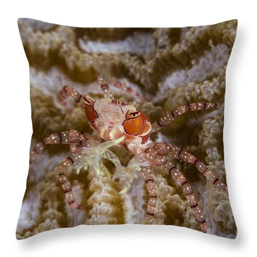 Raja Ampat Throw Pillow featuring the photograph Boxing Crab In Raja Ampat, Indonesia by Todd Winner