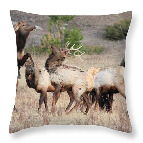 Elk Throw Pillow featuring the photograph Boxing Match by Shane Bechler