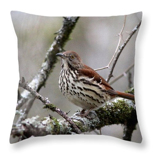 Spotted Bird Throw Pillow featuring the photograph Brown Thrasher - Spot by Travis Truelove