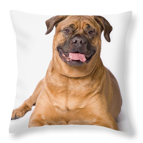 Brown Throw Pillow featuring the photograph Bullmastiff Dog On White Background by Corey Hochachka