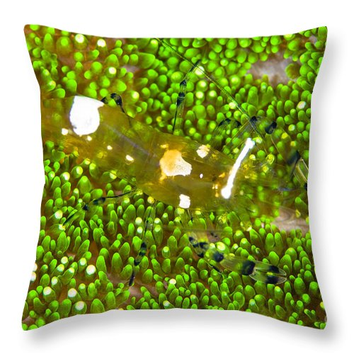 Anthozoa Throw Pillow featuring the photograph Bumblebee Shrimp On Adhesive Anemone by Todd Winner