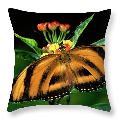 Mp Throw Pillow featuring the photograph Butterfly Dryadula Heliconius Feeding by Michael & Patricia Fogden