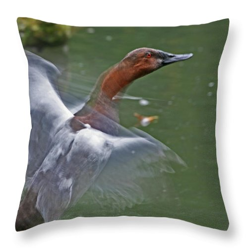 Canvasback Throw Pillow featuring the photograph Canvasback In Action by Karol Livote