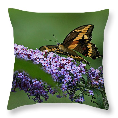 Captivating Swallowtail On Butterfly Bush Flower Throw Pillow featuring the photograph Captivating Swallowtail On Butterfly Bush Flower by Inspired Nature Photography Fine Art Photography