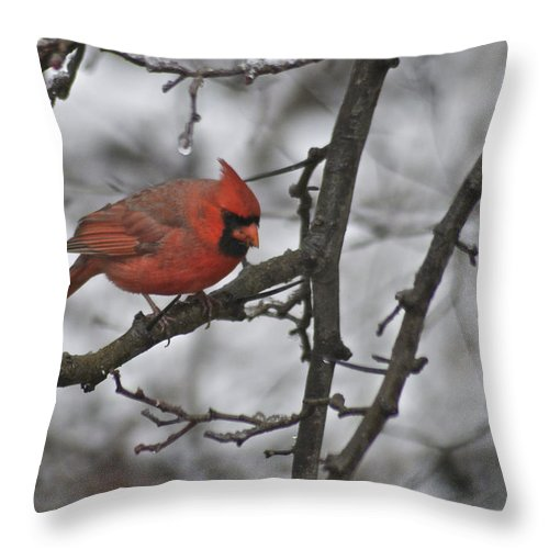 Adult Throw Pillow featuring the photograph Cardinal Male 3666 by Michael Peychich