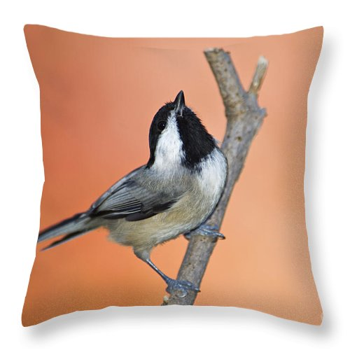 Carolina Throw Pillow featuring the photograph Carolina Chickadee - D007814 by Daniel Dempster